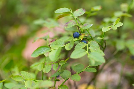 blueberry bushes: Blueberry bushes in the forest and woman hands picking blueberries. Close up of forest fruits