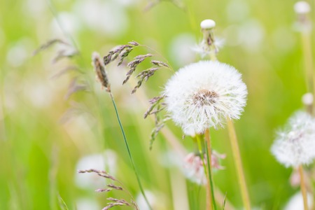 dandelion: Beautiful wild withered dandelion flower. Dandelion seeds in nature.