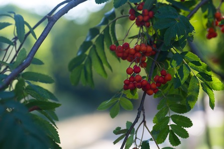 european rowan: Close up of red rowan fruits on branch. Nature background of mountain ash. Stock Photo