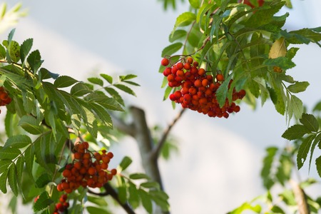 sorb: Close up of red rowan fruits on branch. Nature background of mountain ash. Stock Photo