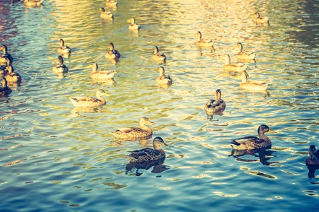 red cross red bird: Vintage photo of herd of wild ducks swimming in small pond illuminated by sunset light.