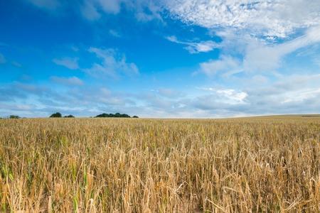 朝雲と青い空の下での穀物のフィールド。美しい夏の風景