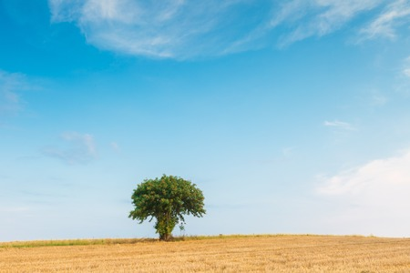stubble: Stubble field with with single old rowan tree. Beautiful summertime rural landscape photographed in Poland. Stock Photo