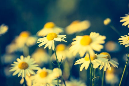 Beautiful chamomile flowers in sunset light close up. Nature background Stock Photo