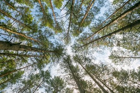 below: Beautiful pine forest - below view
