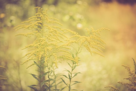 goldenrod: Vintage photo of beautiful yellow goldenrod flowers blooming Stock Photo
