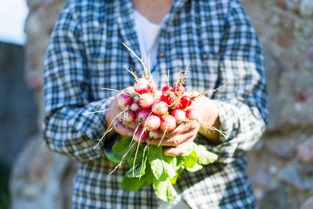 ecologic: Woman hands with just picked radish. Natural ecologic garden vegetables.