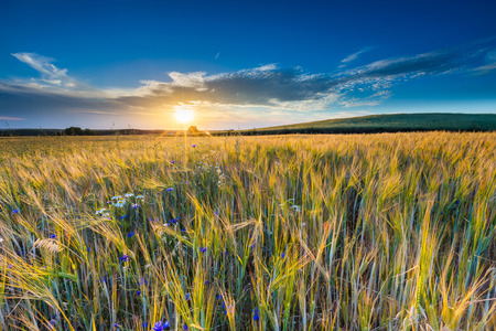 over grown: Beautiful landscape of sunset over corn field at summer. Beautiful grown corn ears in summertime field at sunset.