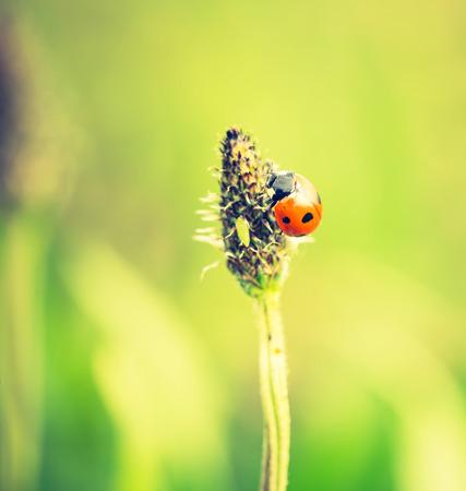 ladybug on leaf: Vintage photo of ladybug on grass. Beautiful close up of red ladybug in nature