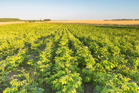 potatoe: Beautiful summer landscape of potatoe field in sunset light. Polish countryside Stock Photo