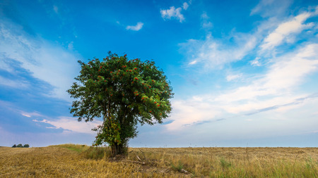 stubble field: Stubble field with with single old rowan tree. Beautiful summertime rural landscape photographed in Poland. Stock Photo