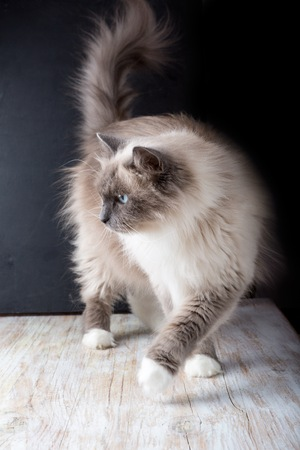 siberian: Beautiful Neva Masquerade cat portrait. Adult purebred siberian cat.