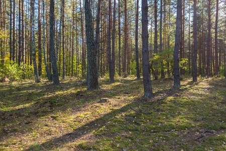 Autumnal forest landsape. Beautiful pine forest at sunny morning.