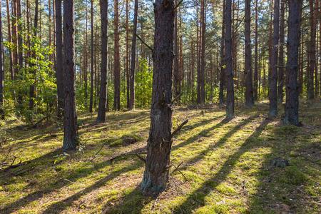 landsape: Autumnal forest landsape. Beautiful pine forest at sunny morning.