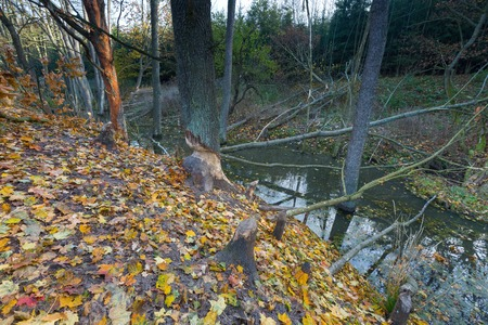 animal behavior: Landscape with trees gnawed by beavers. Place near beaver dam in autumnal forest Stock Photo