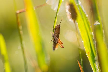 chorthippus: Meadow Grasshopper (Chorthippus parallelus) sitting on grass