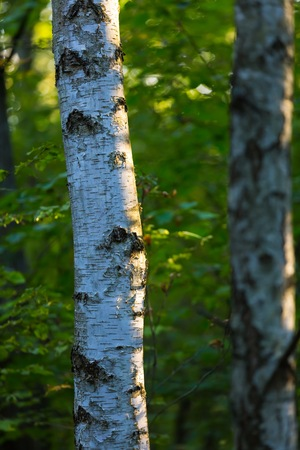 tree detail: Birch tree detail. Natural background