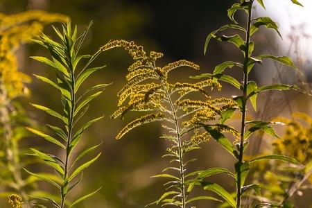 goldenrod: Goldenrod branches in sunlight.