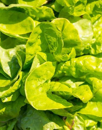 looseleaf: Young lettuce leaves growing in garden. Summer time in garden