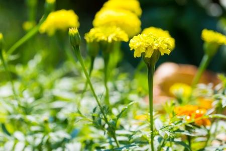 garden marigold: Marigold flowers growing in garden.