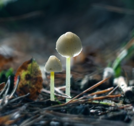 uneatable: Small uneatable toadstools growing in forest.