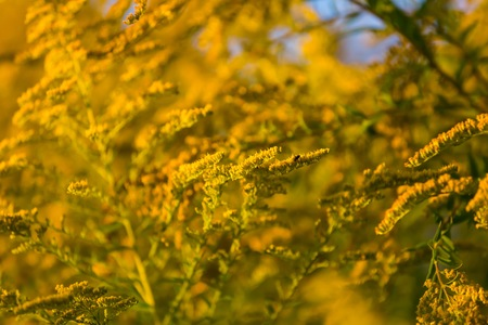 yelllow: Goldenrod branches in sunlight.