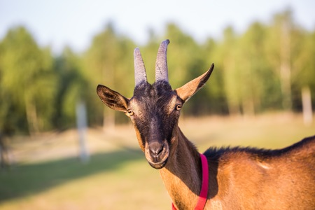 brown goat: Brown goat portrait. Animal face Stock Photo