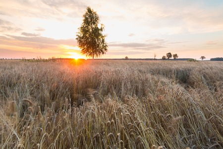 birch tree: Sunset over wheat field and birch tree Stock Photo