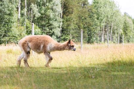 alpaca animal: Alpaca on farm. Animal portrait Stock Photo