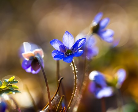 liverwort: Close up of Liverworts flowers blooming in springtime european forest. Blue flowers close up.
