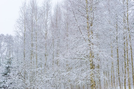 european white birch: Winter in european birch forest. Beautiful landscape with snow covered treees, branches and ground. Stock Photo