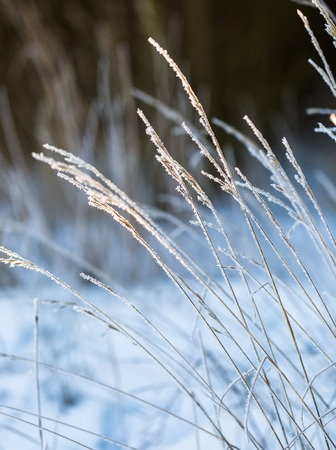 Winter dry plants with rime close up. Beautiful withered plants under hoarfrost crystals. Winter macro Stock Photo