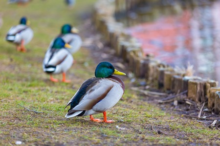 mated: Mallard ducks photographed in city park. Wild ducks living near water.