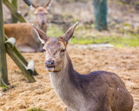 doe: Deer doe resting on ground. Portrait of doe , animal face
