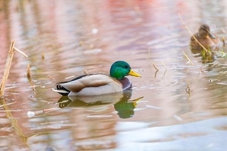 Mallard ducks photographed in city park. Wild ducks living near water.
