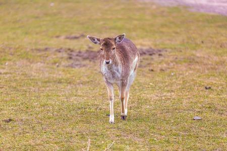 mouflon: Mouflon female portrait. Wild european mouflon. Stock Photo