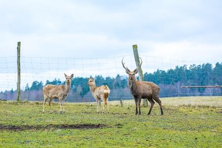black tail deer: Sika deer - Dybowski deer flock photographed in animal park. Stock Photo