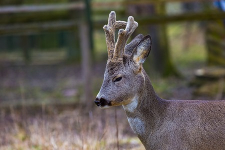 capreolus: Roe deer portrait. Beautiful european deer portrait.