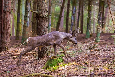 roebuck: Roe deer portrait. Beautiful european deer portrait.