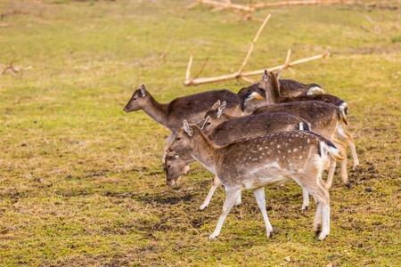 flocking: Fallow-deers flock photographed in animal park. Herd of deers does. Stock Photo