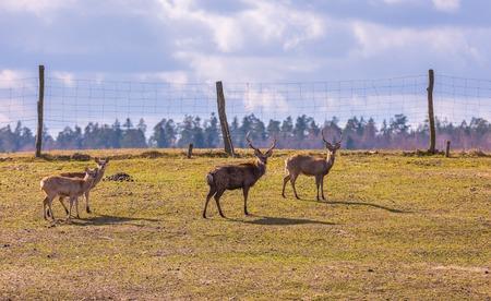 sika deer: Dybowski deer (Sika deer) photographed in animal park.