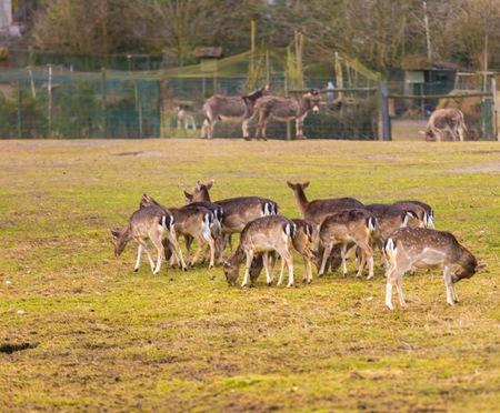 terrestrial mammal: Fallow-deers flock photographed in animal park. Herd of deers does. Stock Photo