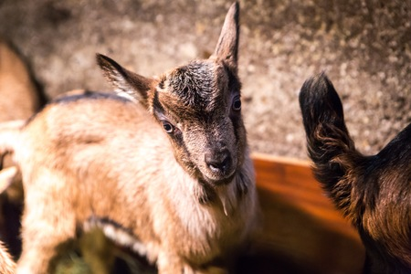 fidgety: Baby goats photographed 2 days after born. Stock Photo