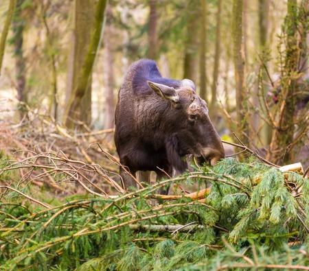 big moose: Moose portrait. Moose photographed in animal park