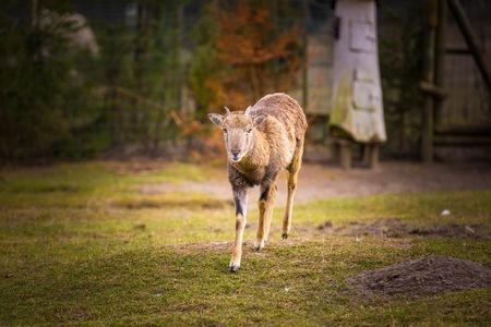 mouflon: Mouflon female standing on grass. Animal portrait of wild sheep
