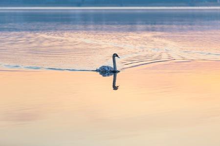 swimming bird: Swan swimming in lake in morning light. Beautiful big bird portrait