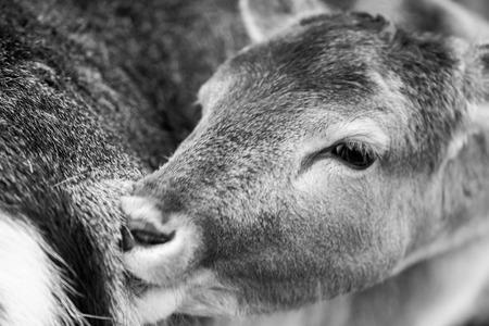 potrait: Deer potrait. Female of deer face in close up. Stock Photo