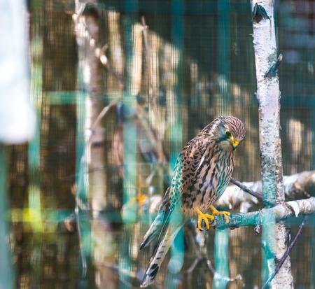 falco: Kestrel (Falco tinnunculus) photographed in animal park.