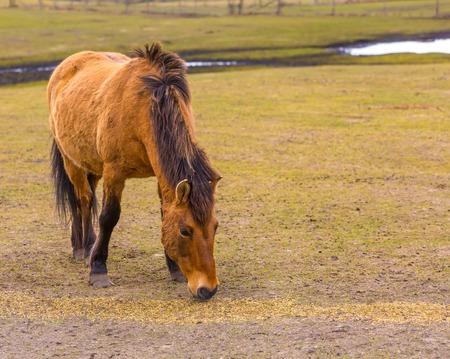 buckskin horse: Przewalski horse (Equus przewalski) portrait. Wild european horse photographed in animal park