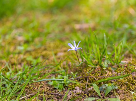 Blue scilla siberica flower - first spring flowers growing in Europe Stock Photo